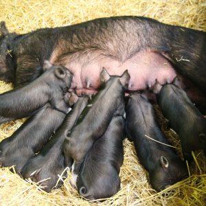 Cerda amamantando a sus crías